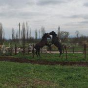 Атаман Николай Долуда подарил казакам села Солдато-Александровского двух жеребцов за спасение тонувших подростков